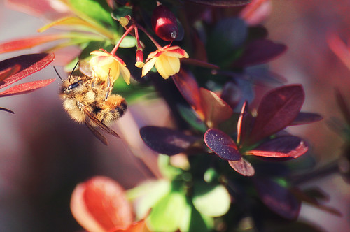 Bee in Barberry | by dbnunley