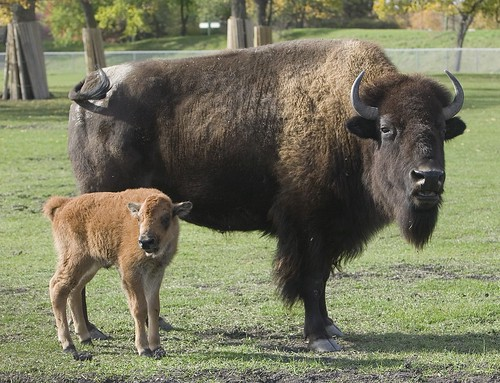 NA Bison, day old calf | by Tourism Winnipeg