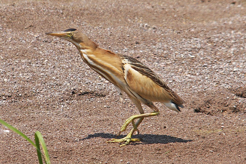 Bittern Little (fem - ixobrychus minutus) TsikniasRiver   Ford Lesvos 09/05/11 | by Mick Sway
