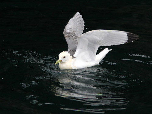 Black-legged Kittiwake 20110625 | by Kenneth Cole Schneider