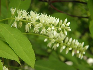 Itea virginica; Virginia Sweetspire | by Sharpj99