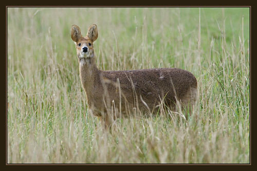 Chinese Water Deer (1) | by Full Moon Images