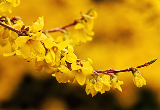 Forsythia | by janruss