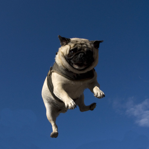Pug Toss 3 | by jellywatson