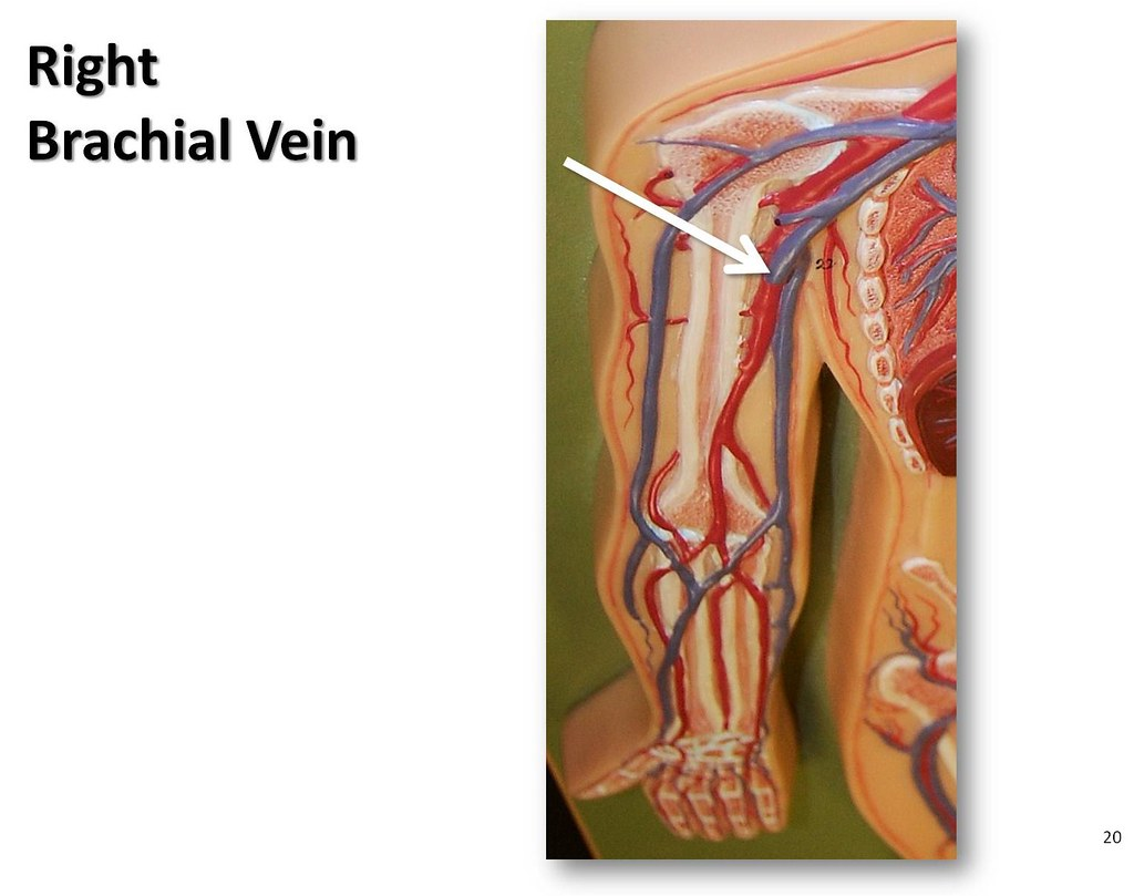 Right Brachial Vein The Anatomy Of The Veins Visual Guid Flickr