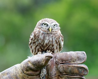 Country sports #2 - little owl | by julesberry2001