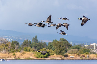 Flying Geese at Shoreline Park | by donjd2