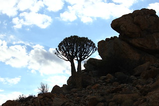 Aloe dichotoma, Kokerboom ( Quiver tree). | by Art B Cloete