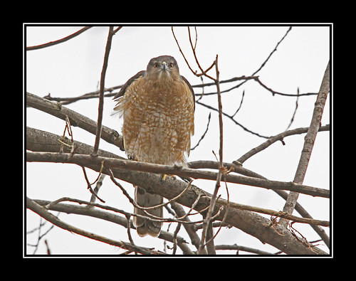 coopers hawk/epervier cooper | by davejv