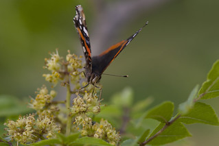 Red Admiral | by Stephen J Pollard (Loud Music Lover of Nature)