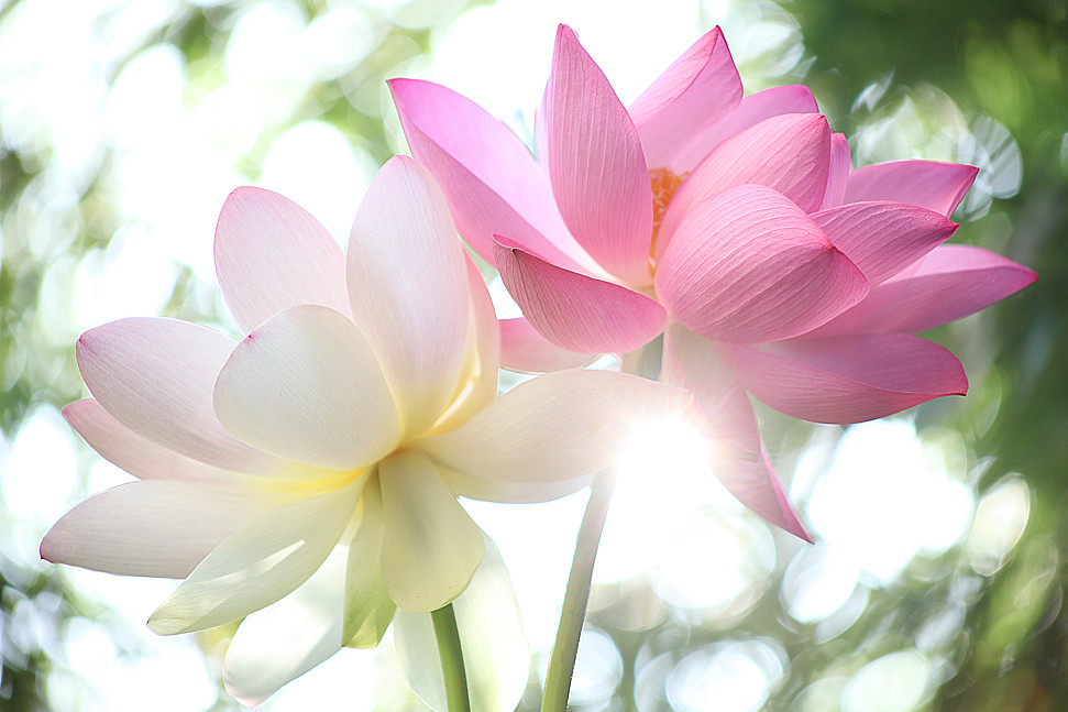 Explored lotus flower petals at sun rise img6442 1000 flickr lotus flower petals at sun rise img6442 1000 by bahman farzad mightylinksfo
