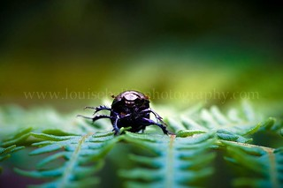 Beetle | by Louise Bellin