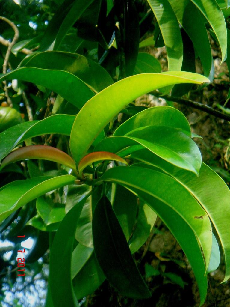 Hyleys garcinia cambogia green tea