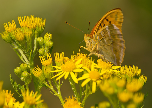 silver washed fritillary on ragwort