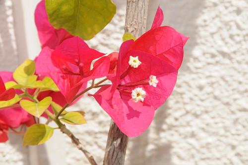Fleurs du printemps 2014 fleur rose de bougainvilliers - Fleurs roses de printemps ...