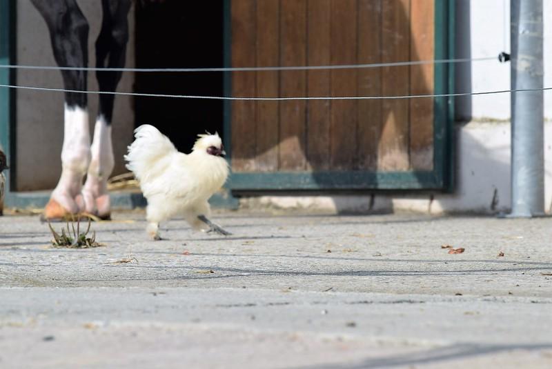Chickens 23.09 (3)