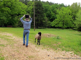 How To Outsmart a Sheep 3 | by Farmgirl Susan