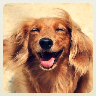 SmileTiff #dachshund #dog #犬 | by t.o.k.u