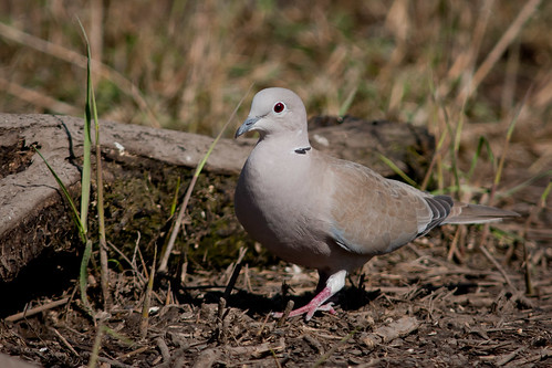 Collared Dove | by mikeebateman