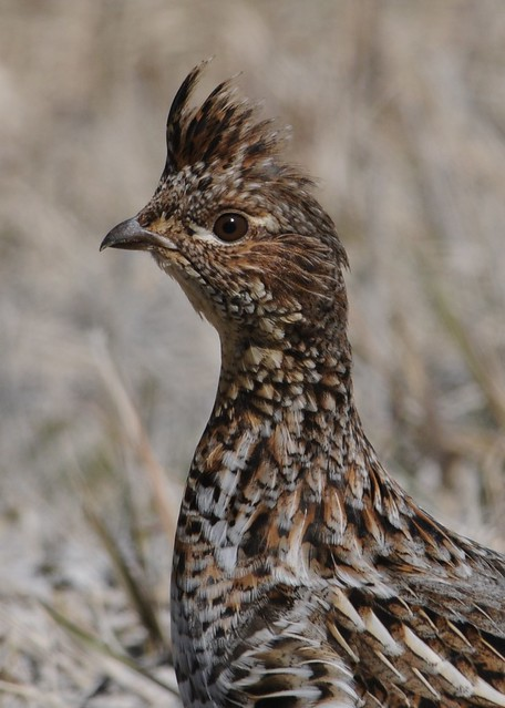 Ruffed Grouse - Bonasa umbellus