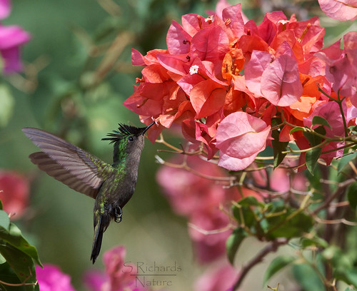 Antillean crested hummingbird | by Through The Big Lens