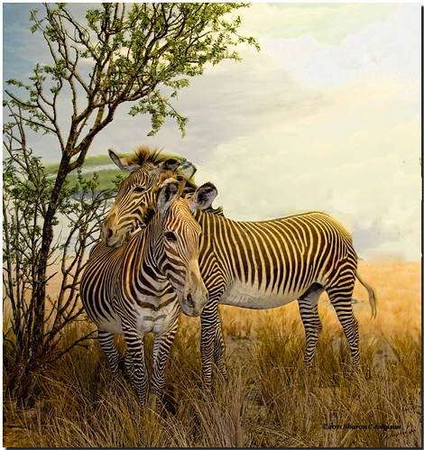 Affectionate Zebras  (EXPLORED!  #232) | by MyRidgebacks - Sharon C Johnson