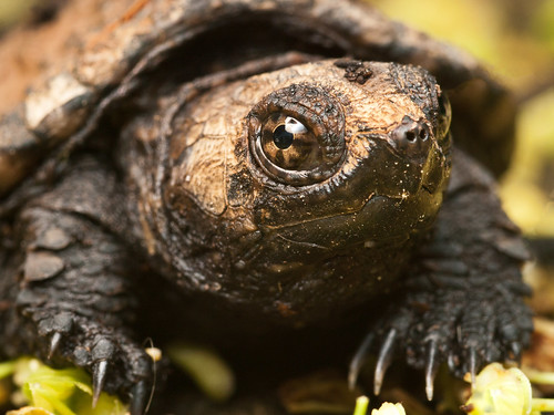 Snapping Turtle by Lopshire | by Lopshire Photography