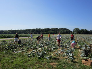 Gleaning the cabbage crop | by DC Central Kitchen