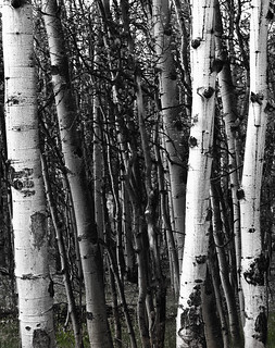 Aspen Grove | by mark shaiken : : photography