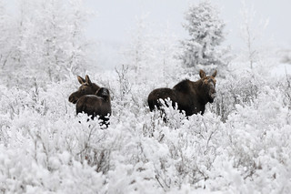 Moose DSC_4398 | by Ron Kube Photography