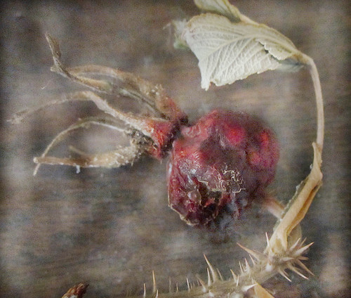 Faded rosehip | by Briege Connolly