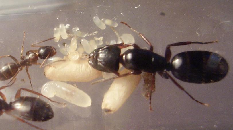 Risultati immagini per Camponotus fallax queen