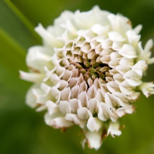 Trifolium repens WHITE CLOVER