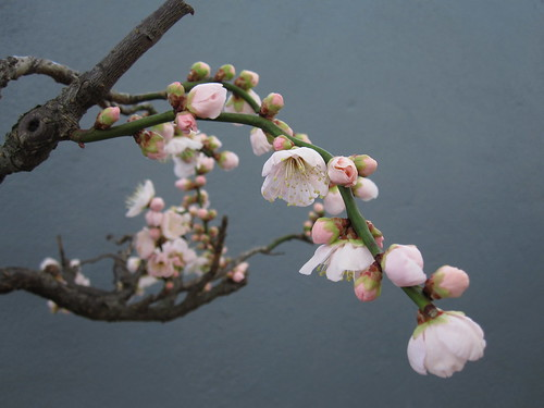 Prunus mume 'Andoh's White' | by Brooklyn Botanic Garden