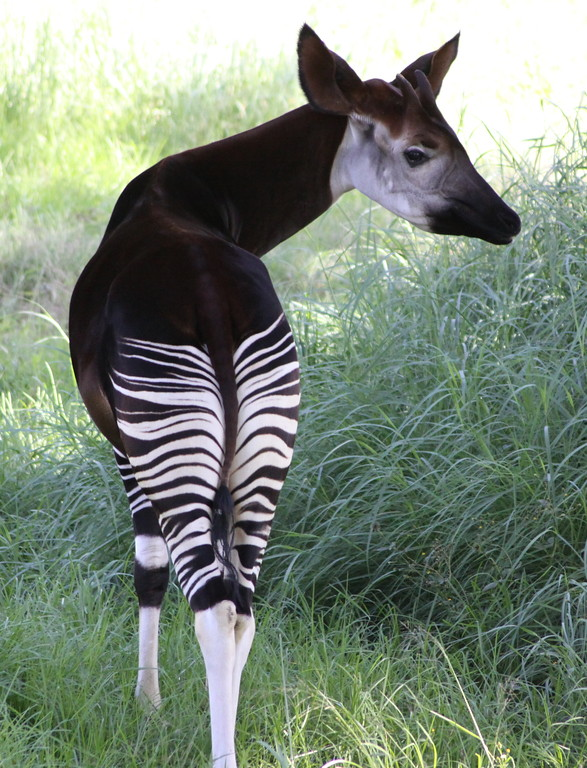 Image result for okapi