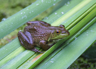 Bull Frog | by U. S. Fish and Wildlife Service - Northeast Region