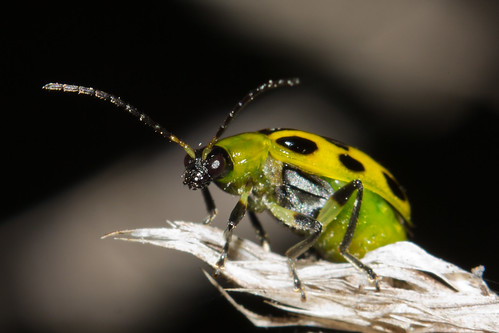 Spotted Cucumber Beetle (Diabrotica undecimpunctata) | by Michael Bok
