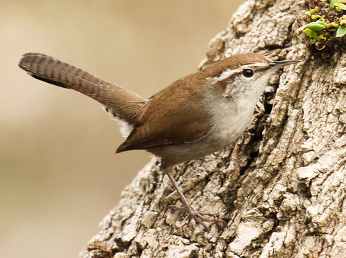 bewick's wren | by hawk person