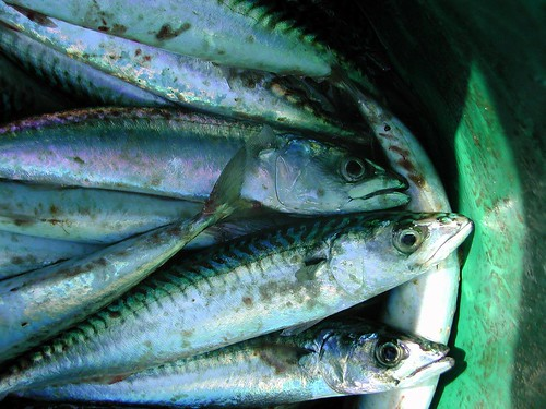 50 Mackerel | by Rob_Anderson_UK