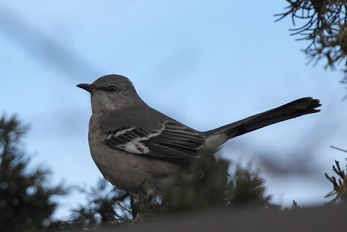 Northern Mockingbird | by Mr.TinDC