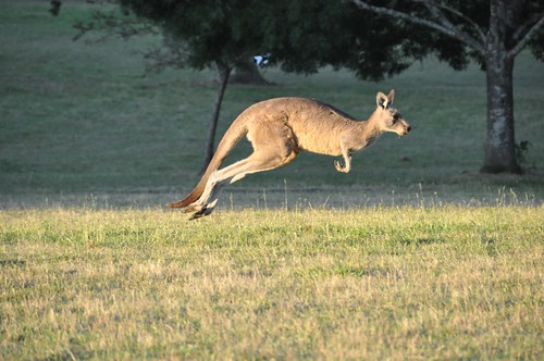 Kangaroo in Flight | by Chris_Samuel