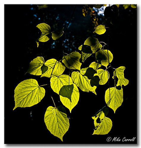 Leaves | by carrmp