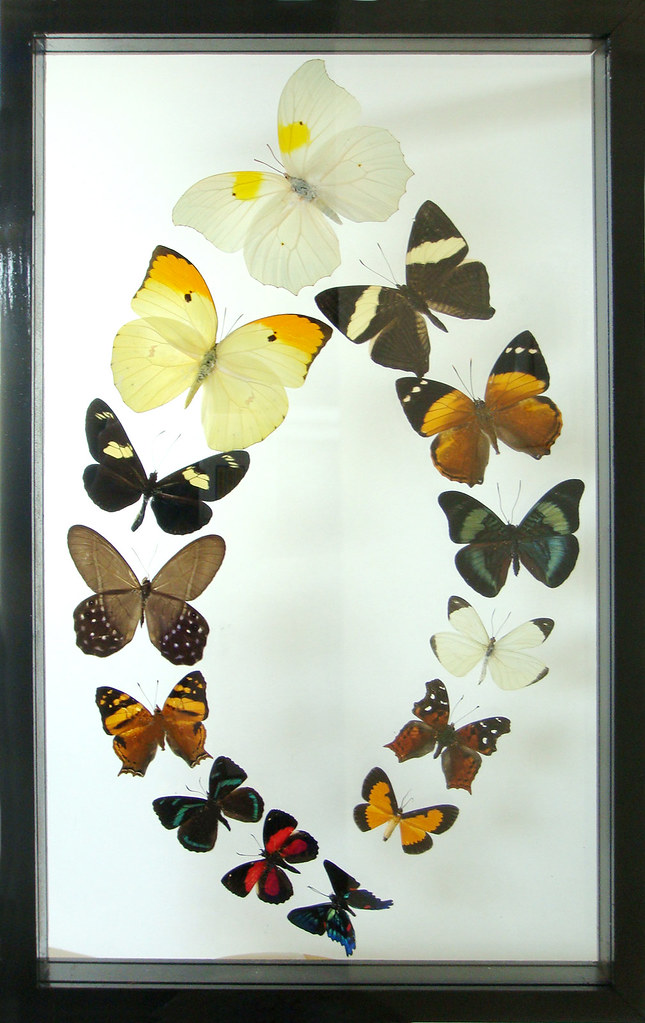 Real Framed Butterflies Collection Gift and Display Mounte… | Flickr