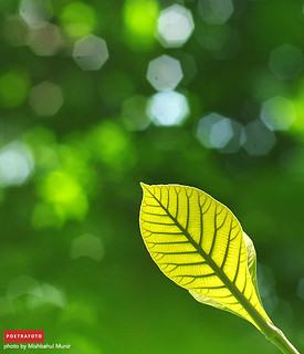 Flora Photo: Daun Muda Pohon Jati (Tectona Grandis) Indonesia | by POETRAFOTO Professional Prewedding & Wedding Photo