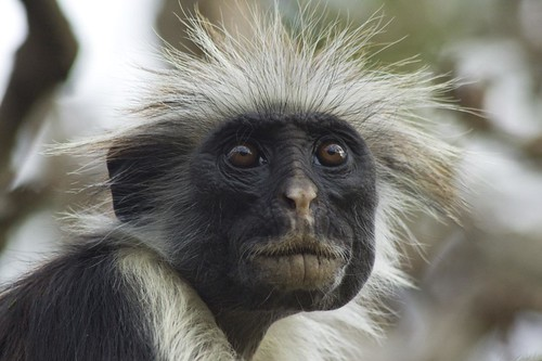 Red Colobus Monkey | by aneye4apicture