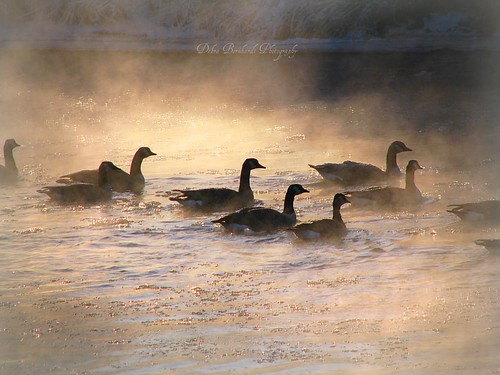 Geese In Golden Light | by Nature_Deb