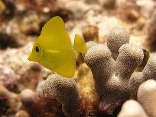 Yellow tang | by Oregon State University