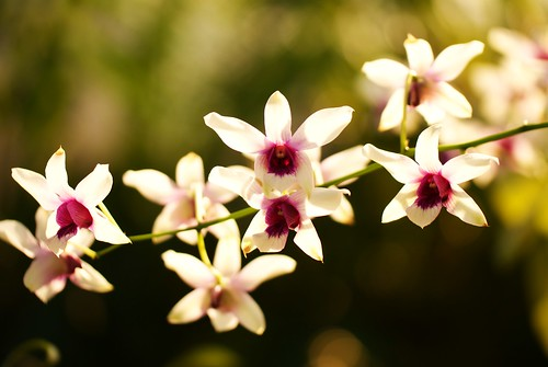 Orchids | by j man.