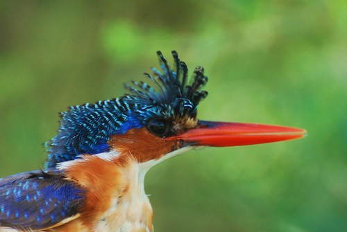 Malachite Kingfisher | by SAFARI AND GUIDE SERVICES PHOTOS