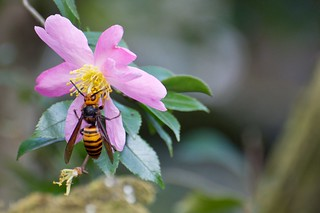 Beauty and the beast - Japanese Hornet | by julesberry2001